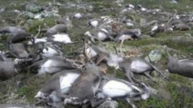 200 rennes retrouvés morts de faim en Arctique, le changement climatique pointé du doigt