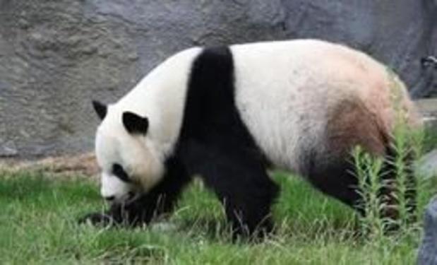 Twee panda's geboren in Pairi Daiza