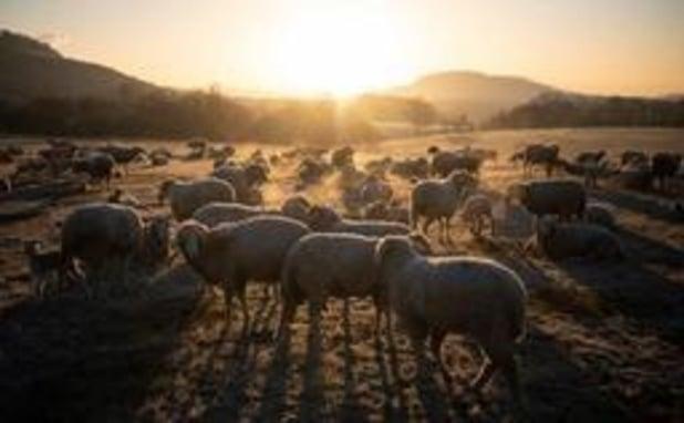 Gaia appelle la Commission à interdire un transport de moutons depuis la Roumanie