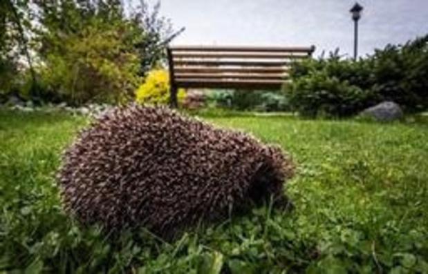 En dix ans, près de la moitié des hérissons ont disparu en Flandre