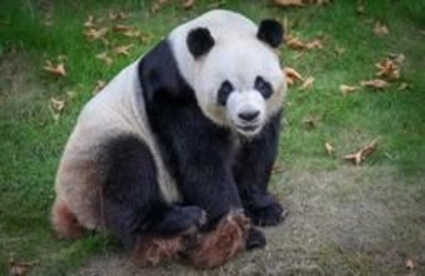 Hao Hao, la femelle panda de Pairi Daiza, inséminée avec succès