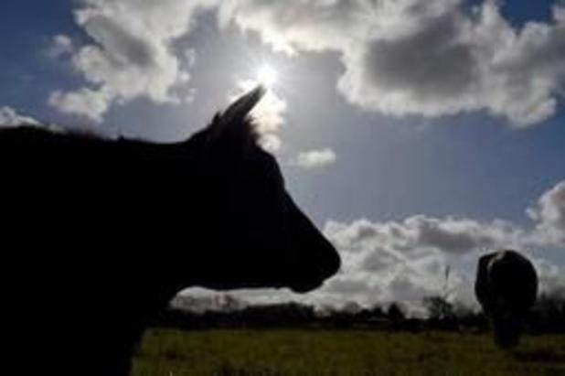 Possible présence de viande de vaches maltraitées dans les rayons belges