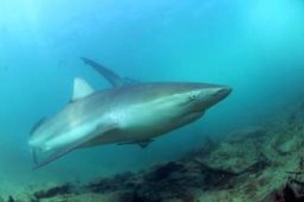 Mediterrane haaien zijn meest bedreigde haaien ter wereld