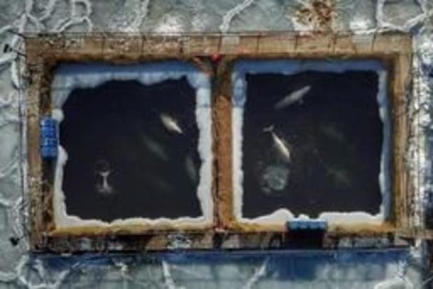 Les autorités russes promettent de libérer des dizaines d'orques et bélugas
