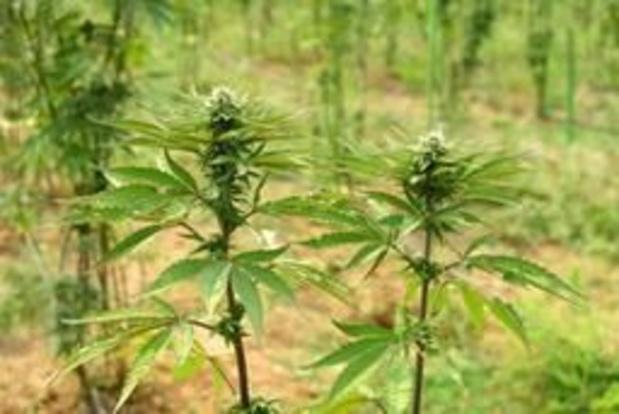 Légaliser le cannabis peut rapporter jusqu'à 144 millions à l'Etat