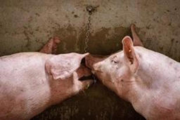 """""""NVWA laat export zieke varkens naar België en Duitsland toe"""""""
