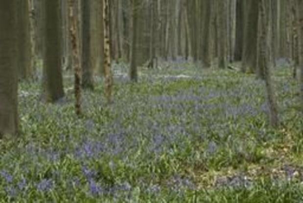 Eerste dag hyacintenfestival in Hallerbos lokt duizenden bezoekers