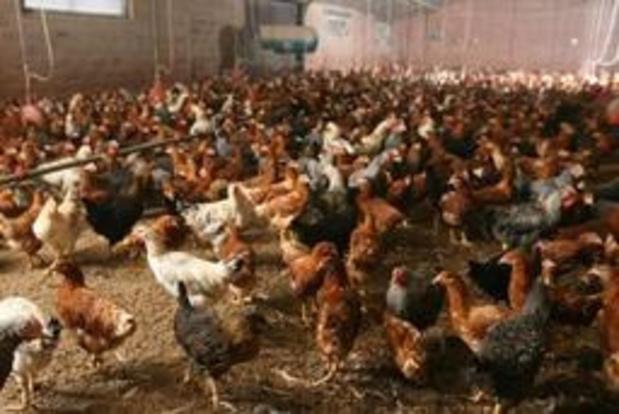 België krijgt Europees fiat voor schadevergoeding vogelgriep-pluimveehouders