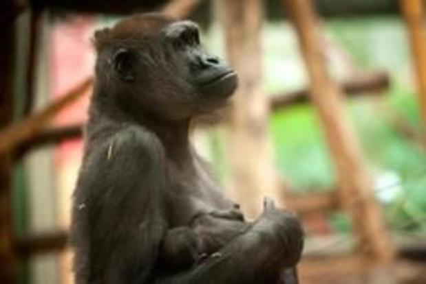 Apen in dierentuinen moeten zich op elk moment kunnen verstoppen voor publiek