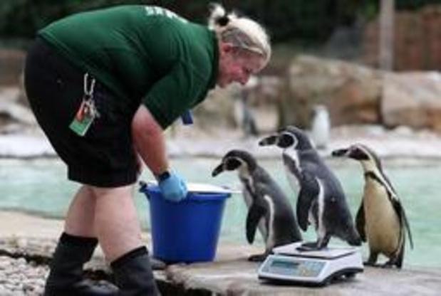 London Zoo gebruikt pinguïns om te informeren over homoseksualiteit bij dieren