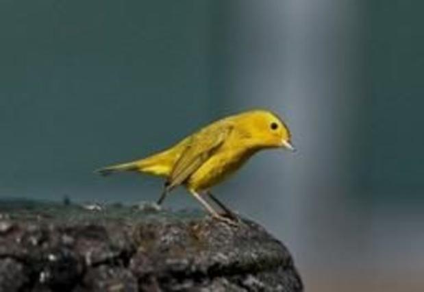 Les 2.000 canaris resteront finalement au sein du parc Pairi Daiza