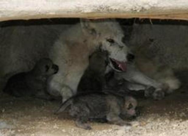 Quatre petits loups arctiques ont vu le jour au domaine des grottes de Han