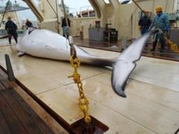 Japanse jachtschepen trekken er na 31 jaar opnieuw op uit voor commerciële walvisvangst