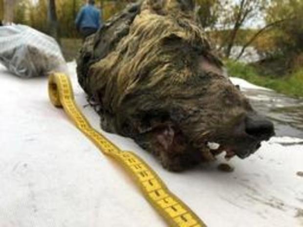 Enorme wolvenkop van 32.000 jaar oud ontdekt in Siberië