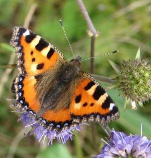 Les citoyens sont invités à compter les papillons durant le mois de juillet