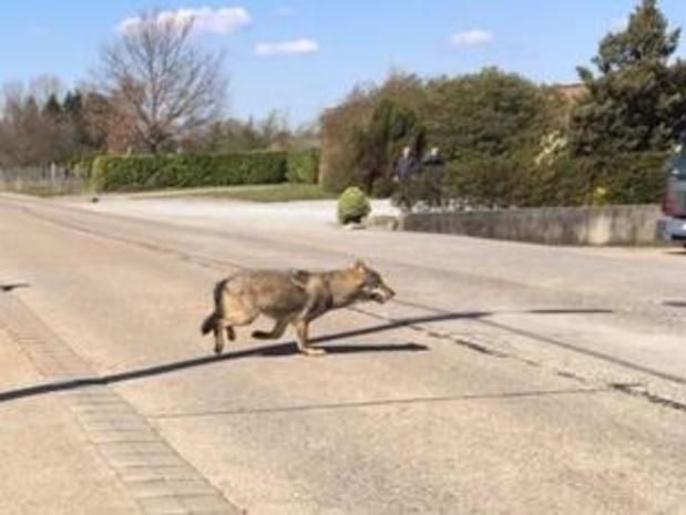 """Jonge koe doodgebeten door wolf in Meeuwen: """"Jonge, kwetsbare dieren beschermen"""""""