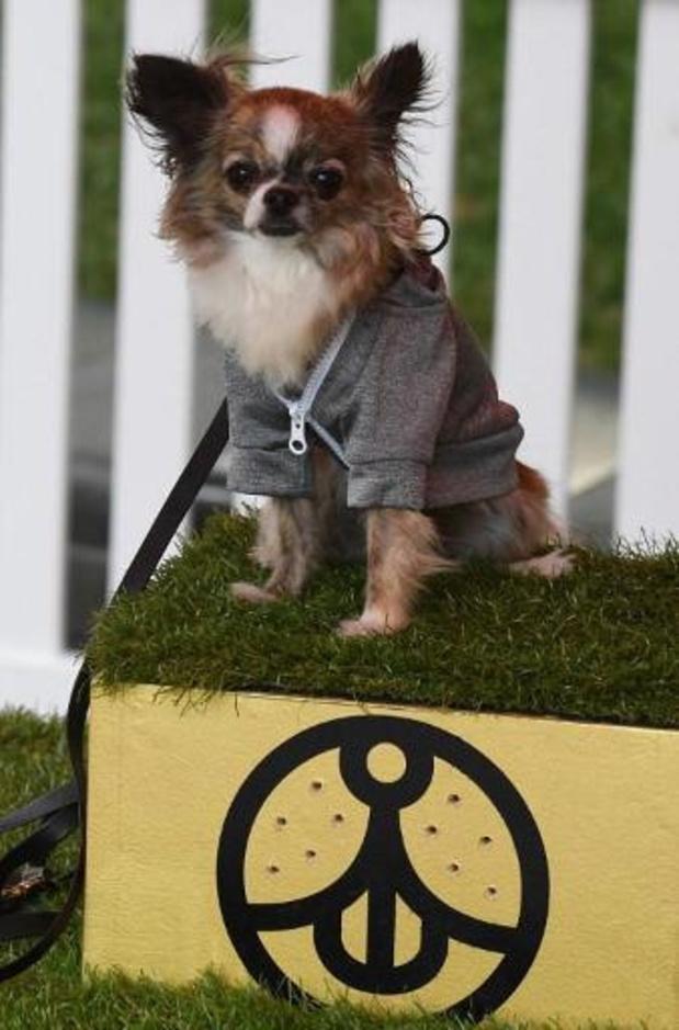 Chihuahua de hartendief van hondendieven