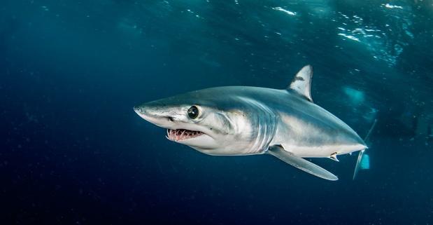 Le requin le plus rapide au monde risque de disparaître