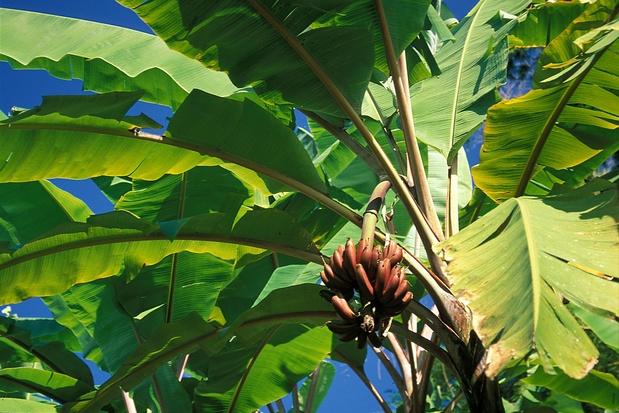 Des feuilles de bananier pour remplacer les sacs plastique