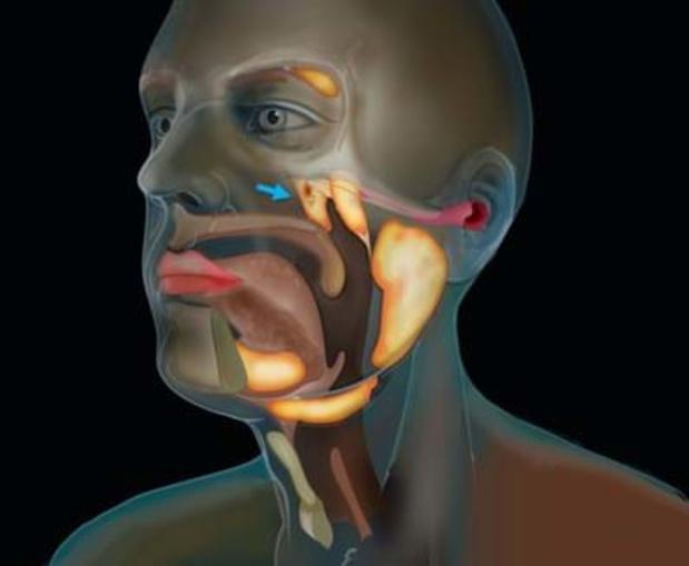Des chercheurs en cancérologie découvrent une nouvelle glande salivaire