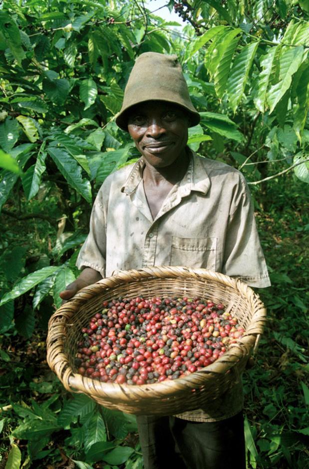 Plantentuin Meise brengt genetische diversiteit van robustakoffie in Oost-Congo in kaart