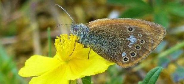 Un papillon à nouveau observé en Belgique après 25 ans d'absence