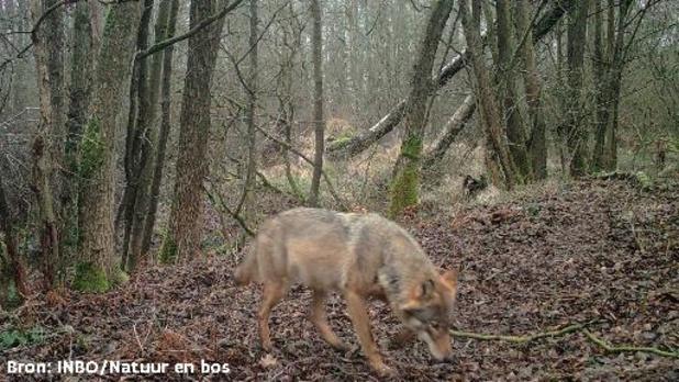 Vergiftiging wolf wordt niet uitgesloten