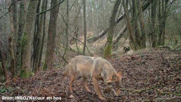 """Wolf Billy overleeft ongeval in Turnhout"""
