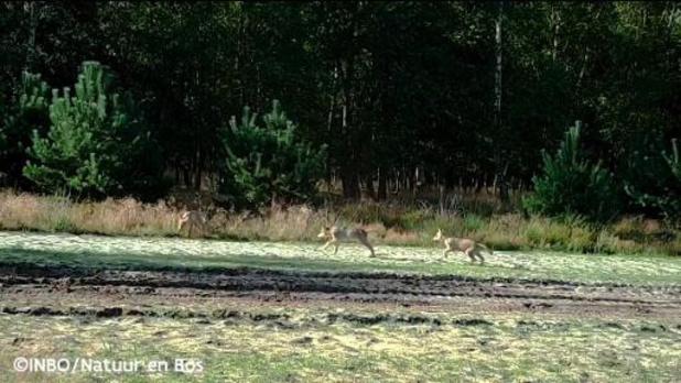Wolf Fencing Team verwacht piek in wolvenaanvallen