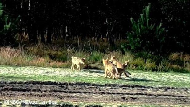 Opnieuw wolf aangereden in Limburg