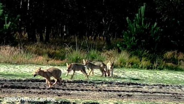 Au moins dix loups vivent dans le Limbourg