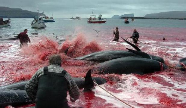 Honderden dolfijnen aan Faeröer-eilanden in fjord gedreven en gedood