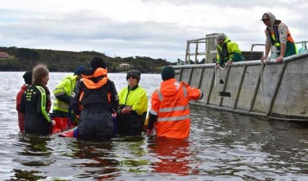 """Plus de 100 """"dauphins-pilotes"""" sauvés après un échouage massif en Tasmanie"""