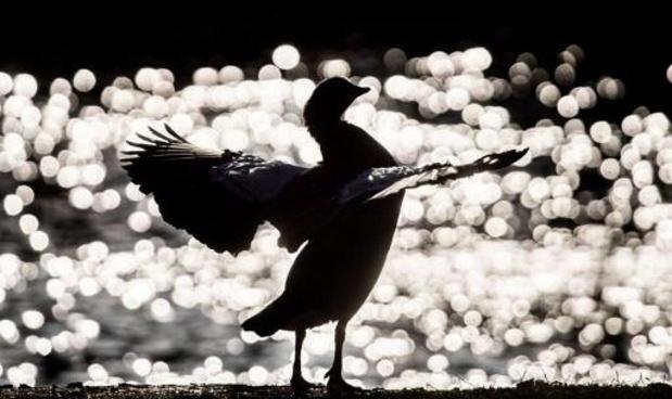 La Hongrie ordonne l'abattage de 200.000 canards à cause de la grippe aviaire