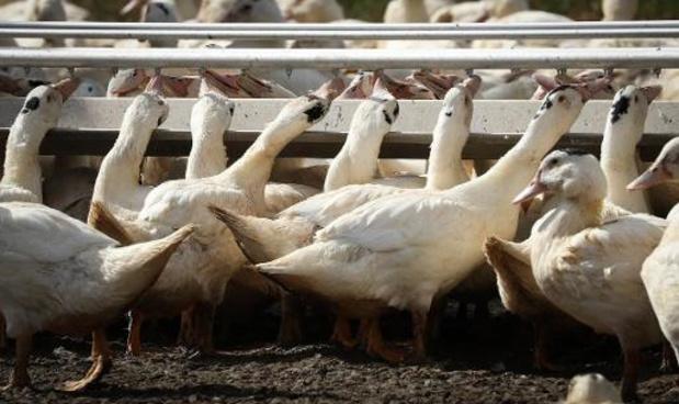 Franse foie gras-makers willen met massale eendenslachting vogelgriep afremmen