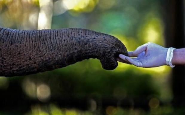 Olifant sterft door stuk fruit gevuld met voetzoekers