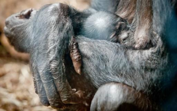 Nieuwjaarsbaby voor bonobo's van Zoo Planckendael