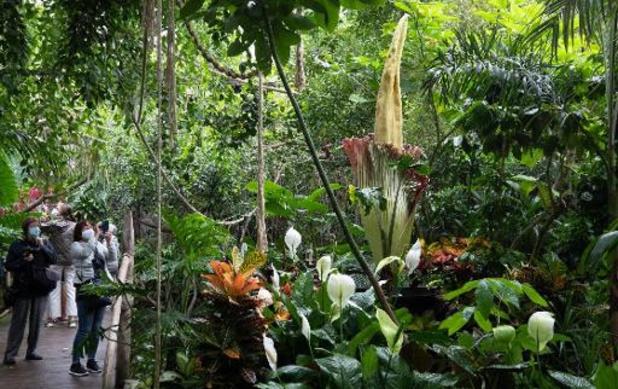 Reuzenaronskelk, de grootste bloem ter wereld, staat opnieuw in bloei in Plantentuin Meise