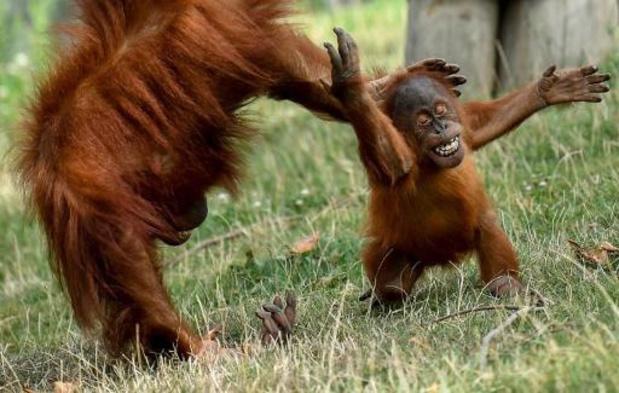 Pairi Daiza verwacht nog een tweede orang-oetangeboorte