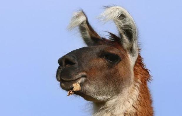 Antilichamen van lama's kunnen gebruikt worden in neusspray als coronamedicijn