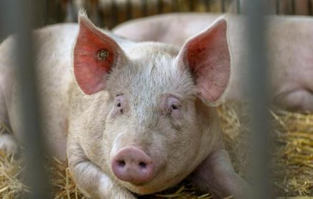 Afrikaanse varkenspest in Duitsland is slecht nieuws voor Belgische varkenssector