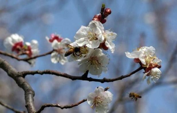 Stuifmeelseizoen 2021 start met pollen van els en hazelaar