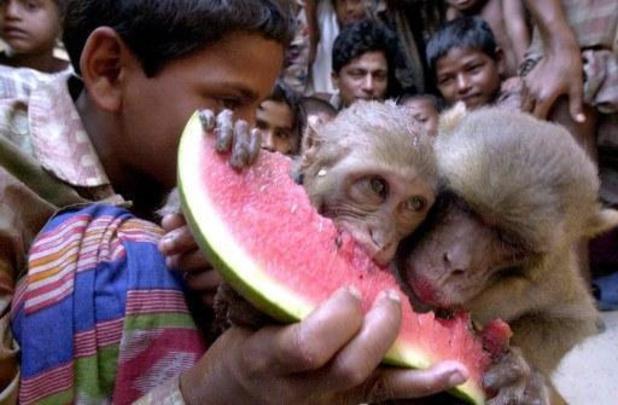 Elf apen vergiftigd in Bangladesh