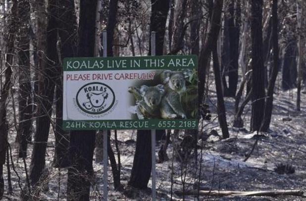 Al meer dan 2.000 koala's omgekomen bij bosbranden