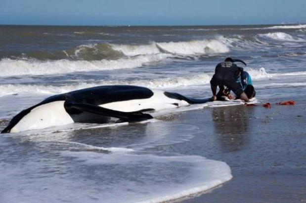 Zeven orka's aangespoeld op Argentijnse oostkust