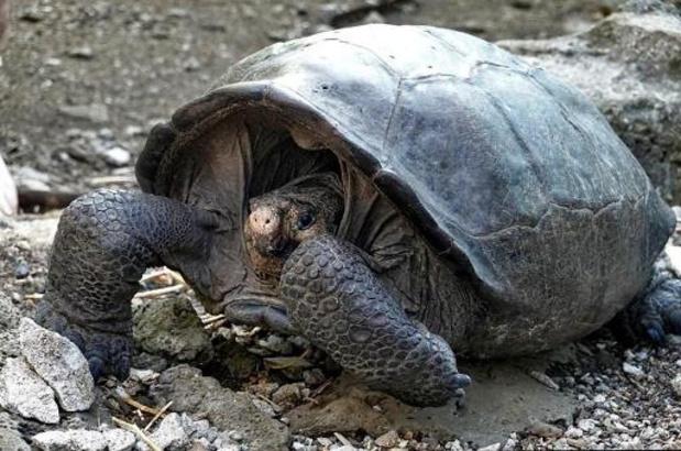 DNA-test bewijst: reuzenschildpad Galapagos niet uitgestorven