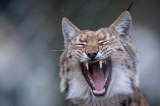 Na wolven mogelijk ook lynxen op weg naar België