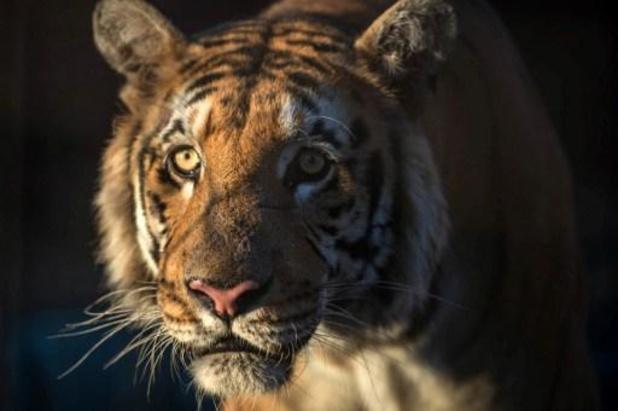 Twee zieke tijgers ingeslapen in Bellewaerde