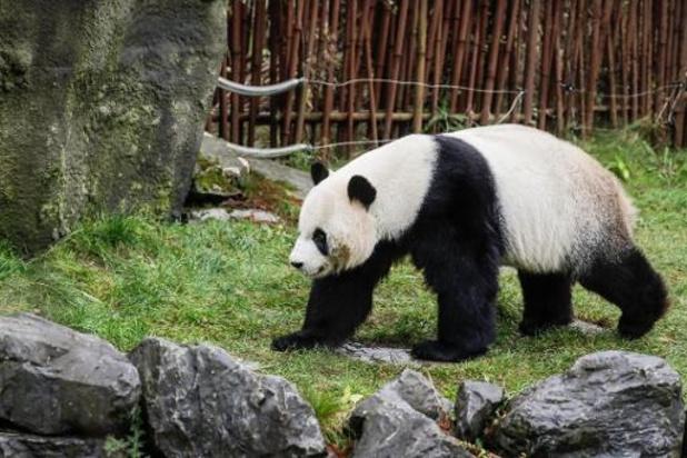 Un panda géant blesse sérieusement un soigneur de Pairi Daiza