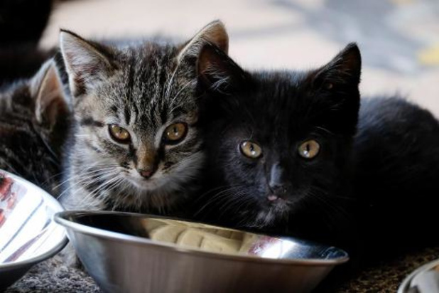 "Contamination d'un chat: ""il n'y a aucune raison d'abandonner son animal"""
